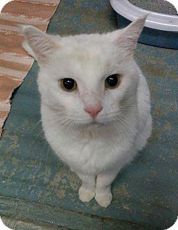 Domestic Shorthair Cat for adoption in Bonner Springs, Kansas - Toby