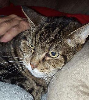 Domestic Shorthair Cat for adoption in Columbus, Ohio - Zane