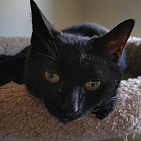 Domestic Shorthair Cat for adoption in Philadelphia, Pennsylvania - Joaniez