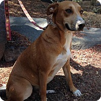 Labrador Retriever/German Shepherd Dog Mix Dog for adoption in San Diego, California - Precilla