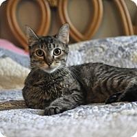 Adopt A Pet :: Sarafena - Manchester, VT
