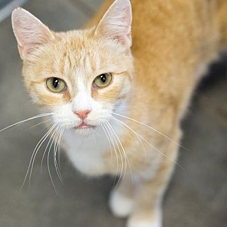 Domestic Shorthair Cat for adoption in St. Paul, Minnesota - Magnolia
