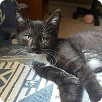 Domestic Shorthair Kitten for adoption in Grand Ledge, Michigan - Javette