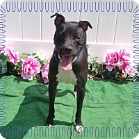 Pit Bull Terrier/Labrador Retriever Mix Dog for adoption in Marietta, Georgia - JESSE - see video
