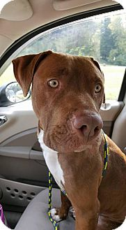 Labrador Retriever/Terrier (Unknown Type, Medium) Mix Dog for adoption in Ashland, Kentucky - Ethan