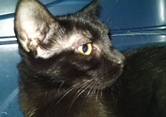 Domestic Shorthair Cat for adoption in Columbus, Ohio - Jet
