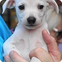 Adopt A Pet :: Clara - Holly Springs, NC