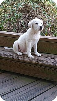 Great Pyrenees Mix Puppy for adoption in Ascutney, Vermont - Pumpkin -Adopted