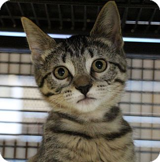 Domestic Shorthair Cat for adoption in Sarasota, Florida - Puddin