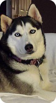 Siberian Husky Dog for adoption in Clay, Alabama - Sabine