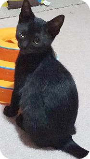 Domestic Shorthair Kitten for adoption in Cleveland, Ohio - Adeline