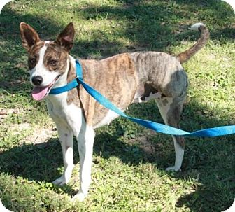 Cattle Dog Mix Dog for adoption in Foster, Rhode Island - Penelope