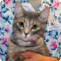 Domestic Shorthair Cat for adoption in Wildomar, California - Ferra