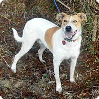 Greyhound/Pointer Mix Dog for adoption in Allentown, New Jersey - Toby