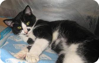 Domestic Shorthair Cat for adoption in Johnson City, Tennessee - fletcher (indian ridge)