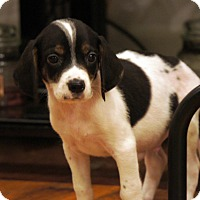 Adopt A Pet :: Bumble (Legendary Creatures) - Frederick, MD