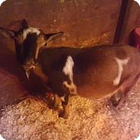 Adopt A Pet :: 4-21 WINIFRED - Dedham, MA