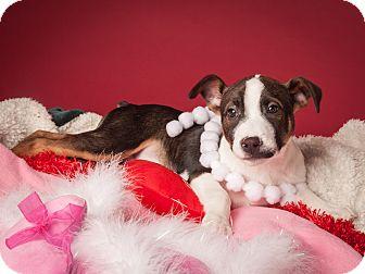 Labrador Retriever Mix Puppy for adoption in Dallas, Texas - Sam-Wise