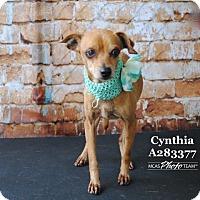 Adopt A Pet :: CYNTHIA - Conroe, TX