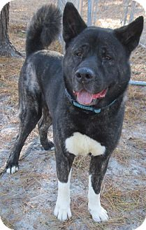 Akita Mix Dog for adoption in Forked River, New Jersey - Teddy Bear