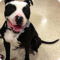 Pit Bull Terrier/Bull Terrier Mix Dog for adoption in Fowler, California - Panda