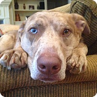 Adopt A Pet :: Bailey- Courtesy Post - Alpharetta, GA