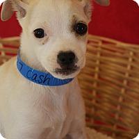 Adopt A Pet :: Cash - Waldorf, MD