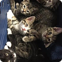 Adopt A Pet :: Magnolia - Chicago, IL