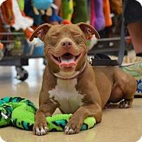 Adopt A Pet :: Alice - New Port Richey, FL
