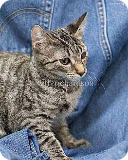 Domestic Shorthair Kitten for adoption in Oviedo, Florida - Watson