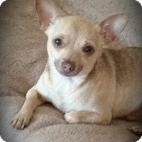 Adopt A Pet :: Pepito - Foster needed - Centreville, VA