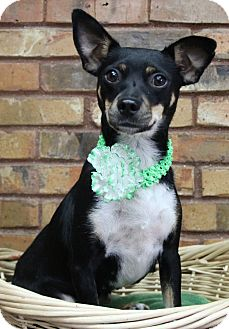 Terrier (Unknown Type, Small)/Miniature Pinscher Mix Dog for adoption in Benbrook, Texas - Ariel