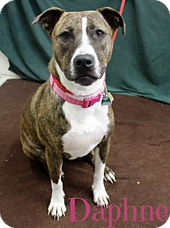 Pit Bull Terrier Mix Dog for adoption in Melbourne, Kentucky - Daphne
