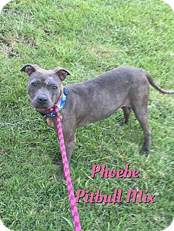 Pit Bull Terrier/Pit Bull Terrier Mix Dog for adoption in Cheney, Kansas - Phoebe