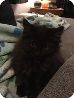 Domestic Longhair Kitten for adoption in Jerseyville, Illinois - Cleo