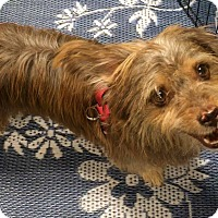 Adopt A Pet :: Rizzo - Phoenix, AZ