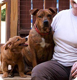 Plott Hound/Terrier (Unknown Type, Medium) Mix Dog for adoption in Plainfield, Connecticut - Muppy