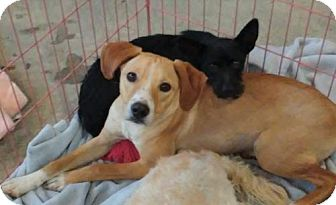 Labrador Retriever/Scottie, Scottish Terrier Mix Puppy for adoption in Castaic, California - Gracie & Astro