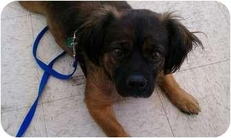 Pekingese Mix Dog for adoption in Hales Corners, Wisconsin - Maggie