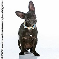 Adopt A Pet :: Bogey - Bedford, TX