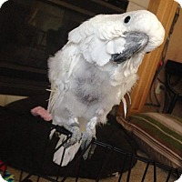 Cockatoo for adoption in Plymouth, Minnesota - Samson