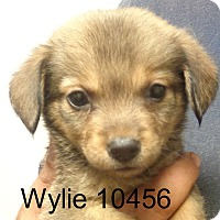 Adopt A Pet :: Wylie - baltimore, MD