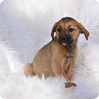 Adopt A Pet :: Sebastian - Charlemont, MA