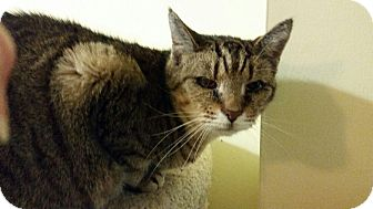 Domestic Shorthair Cat for adoption in Maryville, Tennessee - Bootsie