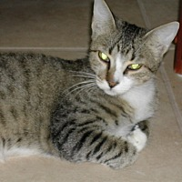 Domestic Shorthair Cat for adoption in Naples, Florida - Tyler
