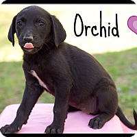 Adopt A Pet :: Orchid (Pom-dc) - Windham, NH