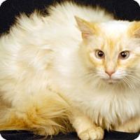 Adopt A Pet :: Munchkins - Newland, NC