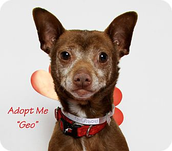 Chihuahua/Rat Terrier Mix Dog for adoption in San Leandro, California - Geo (Special Needs)