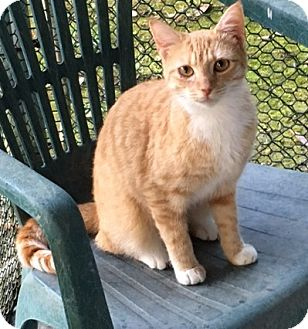 Domestic Shorthair Cat for adoption in Hammond, Louisiana - Whiskey