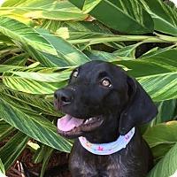 Adopt A Pet :: HONEY~4 MO OLD BLACK LAB MIX PUPPY - Seminole, FL